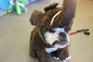 A reluctant Bentley let us dress him up as a Wooly Mammoth